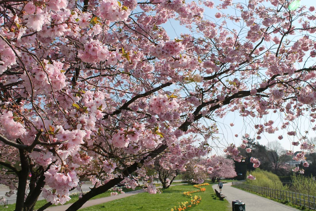 Elbvororte Hamburg Kirschblüte