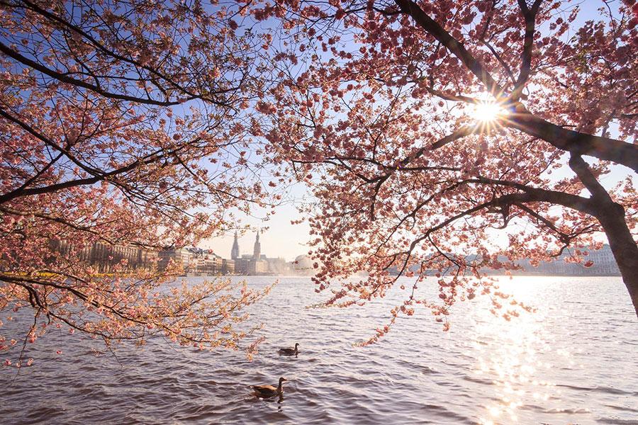 Binnenalster Kirschblüten Hamburg