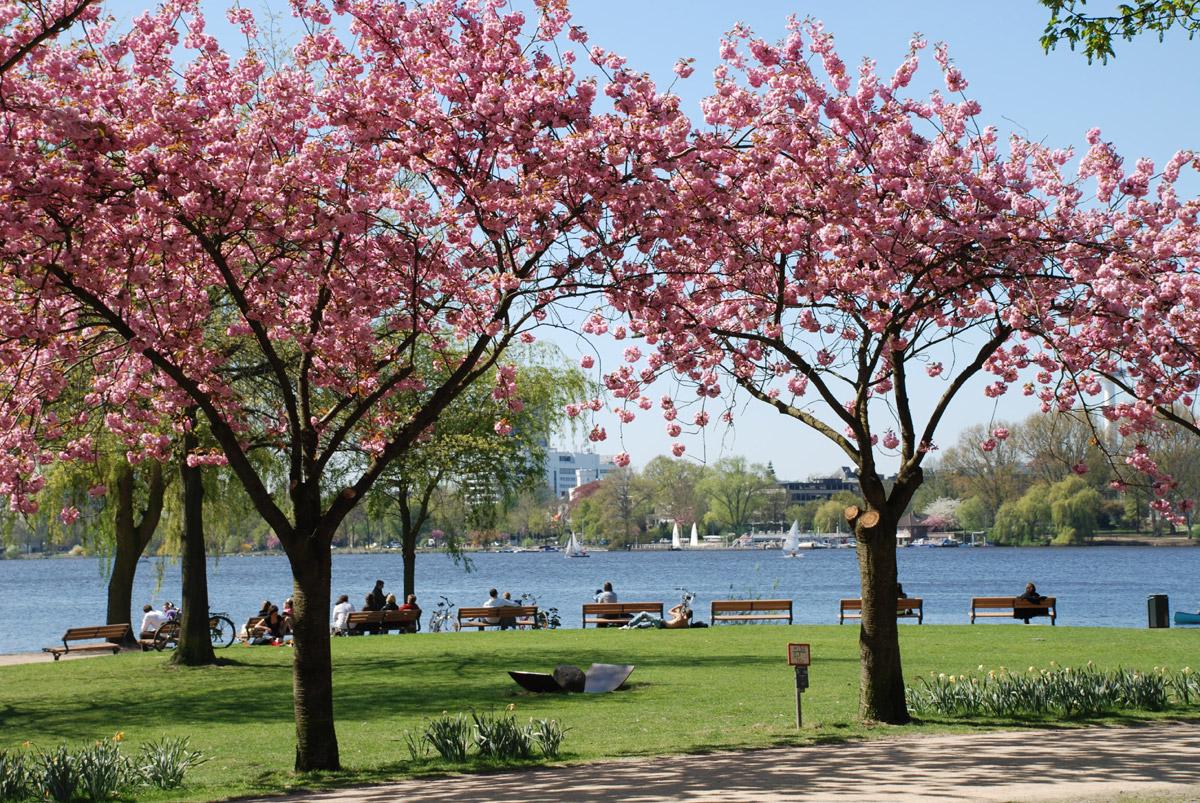 Kirschblütenzauber an der Alster